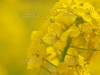 公園,花,大阪,植物,散歩,黄色,菜の花,イエロー,菜の花畑,ナノハナ