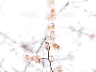 しだれ梅の写真・画像素材[1835493]