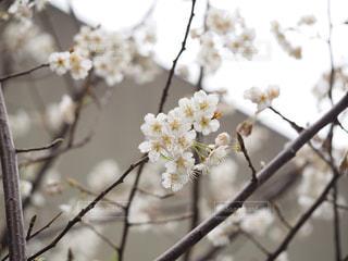 花,桜,大阪,花見