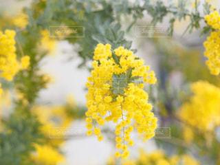 花,春,植物,黄色,幸せ,ミモザ,イエロー,明るい