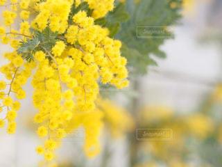自然,花,春,緑,植物,黄色,鮮やか,ミモザ,イエロー,明るい