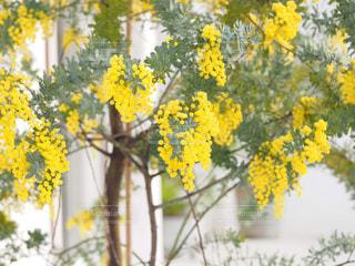 自然,花,緑,植物,黄色,鮮やか,幸せ,ミモザ,イエロー,明るい