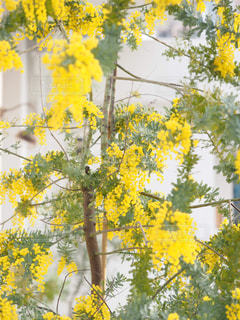 自然,花,春,緑,植物,黄色,鮮やか,幸せ,ミモザ,イエロー,明るい