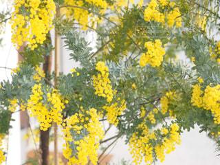 自然,花,春,植物,黄色,鮮やか,幸せ,ミモザ,イエロー,明るい
