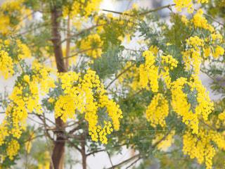 自然,春,大阪,緑,植物,黄色,鮮やか,幸せ,ミモザ,イエロー,明るい