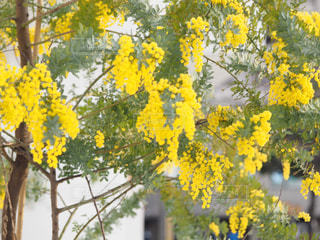 自然,花,春,大阪,緑,植物,黄色,鮮やか,幸せ,ミモザ,イエロー,明るい