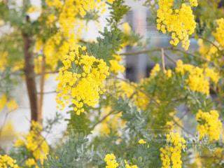 自然,春,大阪,植物,黄色,鮮やか,ミモザ,イエロー,明るい