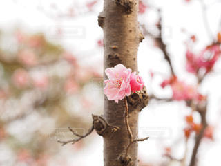 自然,春,植物,梅,花見