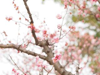 梅の写真・画像素材[1848228]