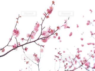 木の枝にピンク色の花のグループの写真・画像素材[1848232]