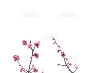 梅の写真・画像素材[1848234]