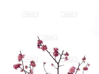自然,花,大阪,緑,植物,梅,花見,余白