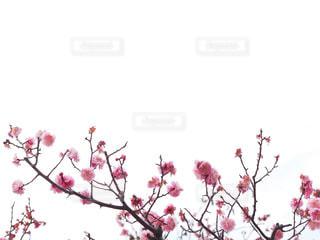 花,春,大阪,緑,植物,梅,花見,余白
