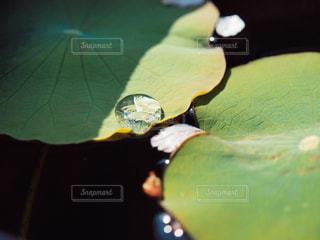 葉っぱ,水滴,池,影