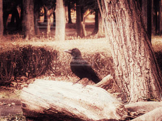 丸太の上のカラスの写真・画像素材[2916133]