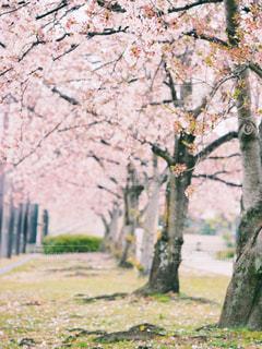 桜の樹の下での写真・画像素材[3037810]