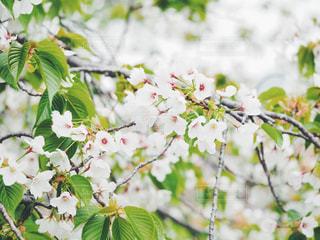 花,春,桜,枝,花びら,樹木,草木,葉桜