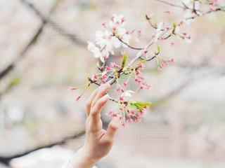 花,春,桜,手,サクラ,人