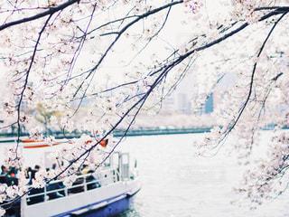 桜を見る船の写真・画像素材[3037812]