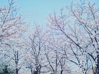 自然,空,春,桜,花見,満開,樹木