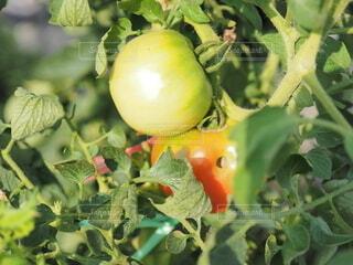 食べ物,夏,葉,景色,トマト,野菜,食品,畑,食材,フレッシュ,ベジタブル