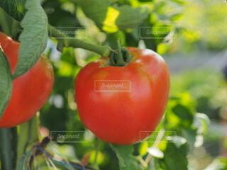 食べ物,夏,葉,トマト,野菜,食品,畑,食材,フレッシュ,ベジタブル,自然食品