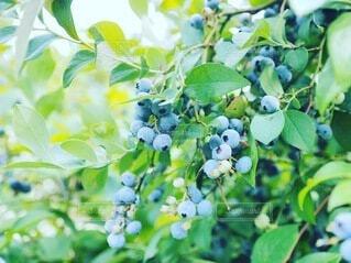 食べ物,緑,葉,田舎,野菜,ブルーベリー,食品,ベリー,収穫,食材,フレッシュ,ベジタブル