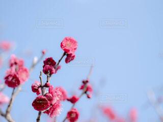 日本の春の風景、梅の花の写真・画像素材[4358179]