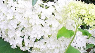 ピュアホワイト♪の写真・画像素材[932001]