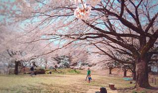 桜の下での写真・画像素材[970335]