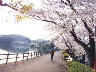 男性,公園,桜,屋外,歩く,散歩,休日,お出かけ