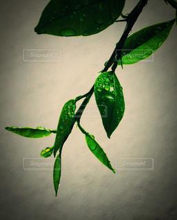 雨に濡れた柚子の葉の写真・画像素材[1172277]