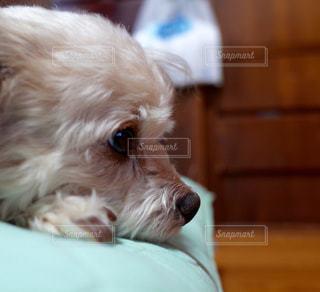 カメラを見て茶色と白犬の写真・画像素材[977487]