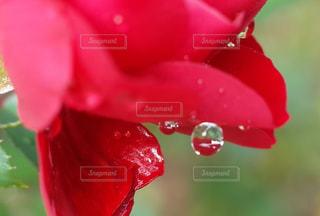薔薇に滴る水玉の写真・画像素材[1080823]