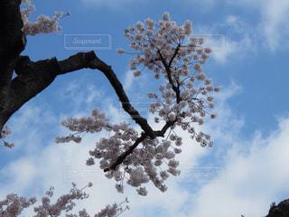 青空と桜の写真・画像素材[1098311]