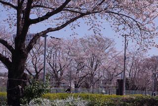 自転車の映える桜並木の写真・画像素材[1137627]