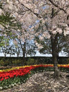 春,桜,樹木,三重県,なばなの里,4月,桑名,ちゅうりっぷ,2018年