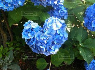 青,ハート型,ハート,紫陽花,ブルー
