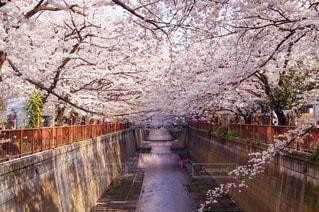 桜並木はひたすら続くの写真・画像素材[1123978]