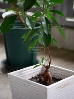 ガジュマルの木をベランダでの写真・画像素材[970175]