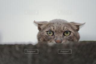 カメラを見ている猫の写真・画像素材[933021]