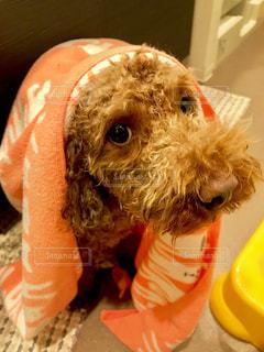 着ぐるみを着た犬 - No.1184882
