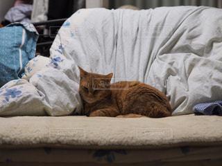 猫の写真・画像素材[239597]