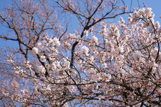 桜の木のアップの写真・画像素材[1099071]
