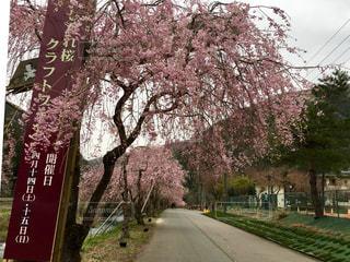 しだれ桜の並木道の写真・画像素材[1133427]