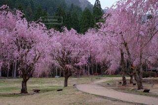 屋外,しだれ桜,花見,福井県,たけくらべ広場