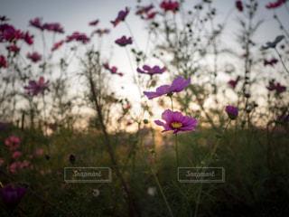 コスモスの花の写真・画像素材[1456064]