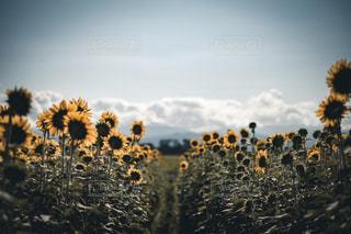 ひまわり畑の道の写真・画像素材[1456075]