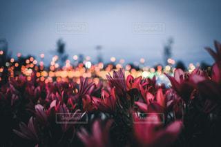ゆりの花とライトアップの写真・画像素材[1538347]