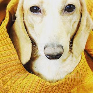カメラを見て犬の写真・画像素材[977829]